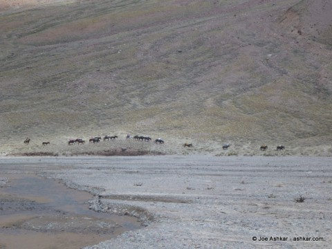 Mules carrying loads in the Vacas Valley.
